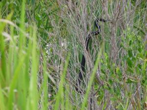 Green Coves snake