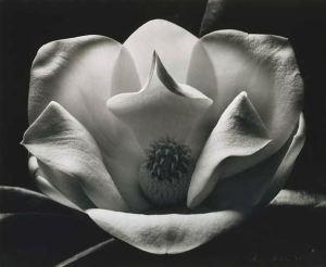 Dupain's magnolia