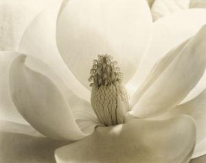 Imogen Cunningham's magnolia