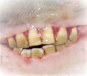 sheepshead-teeth